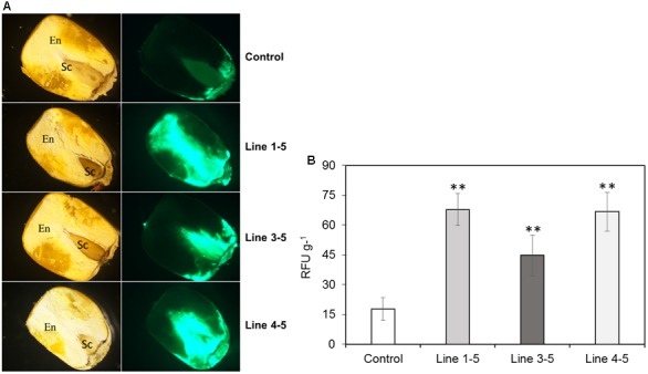 Fungal growth in the T1 generation maize kernels. (A) Growth of A. flavus -GFP at 7 dpi (as indicated by relative GFP fluorescence; Rajasekaran et al., 2013 ) in empty vector transformed control and ZmPRms– RNAi transgenic maize kernels (First column: light micrographs and second column: GFP fluorescence micrographs of longitudinal sections of kernels. En: endosperm; Sc: scutellum); (B) Quantification of GFP fluorescence in the kernels of empty vector transformed control and ZmPRms– RNAi maize transgenic plants at 7 days post inoculation (dpi) with A. flavus . Relative fluorescence units (RFU) is directly proportional to fungal growth in the kernels. Data are mean ± SE of 5 biological replicates. ∗∗ Denotes significant difference between control and PRms silenced lines ( P ≤ 0.05).