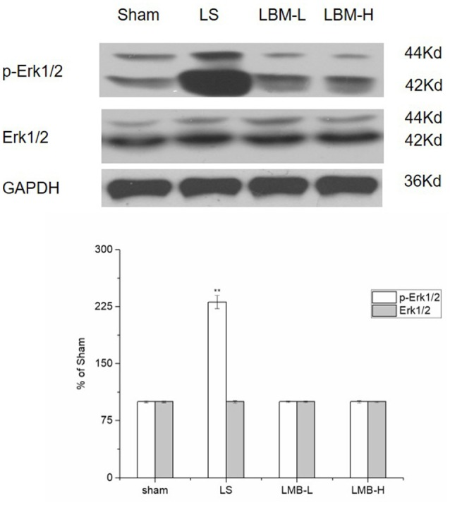 Changes in expression of phospho-ERK1/2, ERK1/2 after either intermittent or continuous L-dopa administration in 6-OHDA-lesioned striatum for 21 days. The expression of phospho-ERK1/2 in the LS group significantly increased compared with the sham, LBM-L and LBM-H group ( p