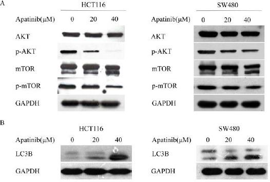 Apatinib induced apoptosis and autophagy through inhibition of AKT/mTOR pathway (a) HCT116 and SW480 cells were treated with apatinib (0, 20, 40 μM, respectively) for 24 hr, and the alterations of phosphorylated AKT and mTOR were detected. (b) HCT116 and SW480 cells were treated with apatinib (0, 20, 40 μM, respectively) for 24 hr, and the protein level of LC3 was detected. GAPDH was included as a loading control