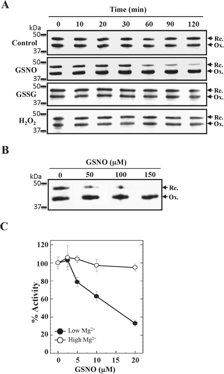 FBPase oxidation by GSNO incubation. A, western blot analyses of the FBPase oxidation after dark incubation with 0.1 mM of the oxidizing molecules GSNO, oxidized glutathione (GSSG), or hydrogen peroxide (H 2 O 2 ) (in a solution with 100 mM Tris-HCl pH 8.0). No oxidizing compound was added to the control condition. Samples were taken at the indicated times and immediately incubated for 1 h at 37 °C with one volume of alkylating buffer (100 mM Tris-HCl [pH 8.0], 4% CHAPS, and 60 mM IAM). B, effect of GSNO concentration on FBPase oxidation. cFBP1 was incubated as in A, with the indicated GSNO concentrations for 2 h. 100 ng of recombinant FBPase were loaded per lane in A and B. C, inactivation of the FBPase activity following 30 min incubations with GSNO. Activity assays were carried out as described in the Section 2 .