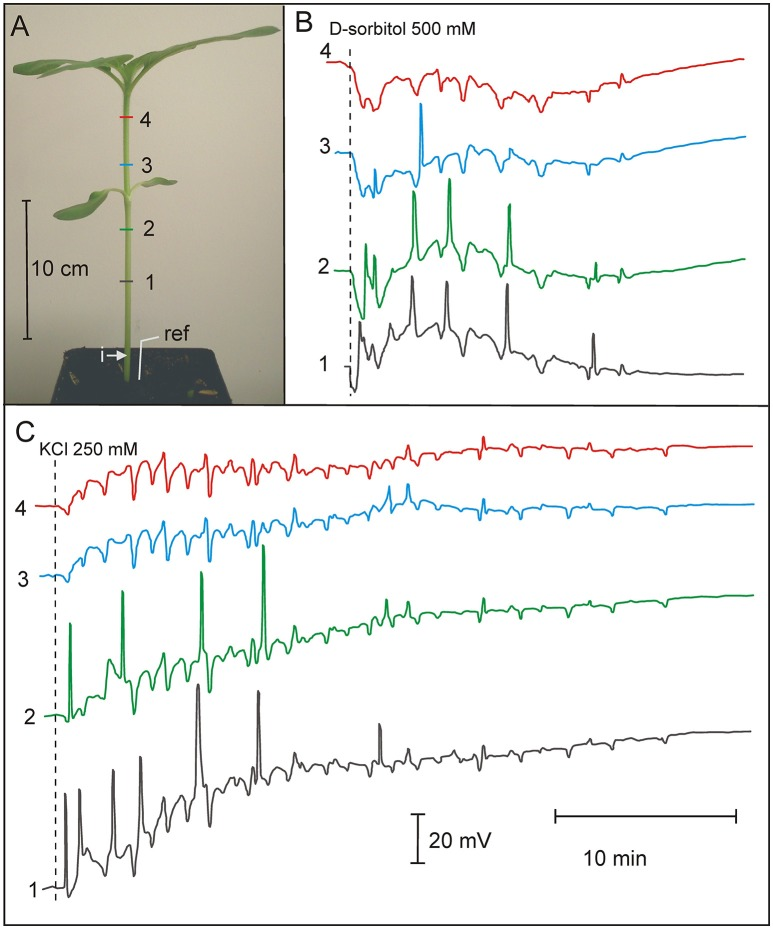 Osmotically and potassium chloride-induced series of action potentials in 3-week old Helianthus annuus . (A) Helianthus annuus plants, electrode arrangement (1, 2, 3, 4, ref—reference electrode) and site of solution injection (i). (B) Example of recordings of action potential series after D-sorbitol 500 mOsm (500 mM) injection into the stem base. (C) Example of recordings of action potential series after KCl 500 mOsm (250 mM) injection into the stem base. Data details are presented in Table 3 .