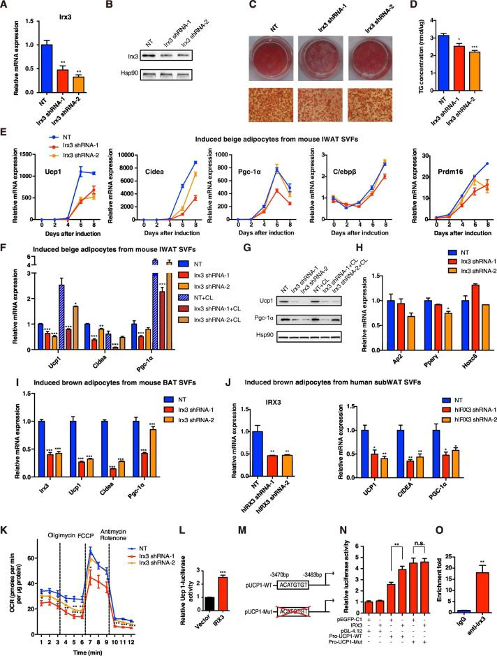 Knockdown of Irx3 repressed the differentiation of SVFs toward beige adipocytes in vitro. (A–B) (A) Relative mRNA and (B) protein levels of Irx3 in SVFs from IWAT were efficiently knocked down after a 3-day infection of mouse Irx3 lentiviral shRNA ( n = 3 for each group). (C–D) (C) Oil Red O staining and (D) TG concentration of the mature beige adipocytes under eight-day differentiation ( n = 6 for each group). (E) Relative mRNA expression of Ucp1 , Cidea , Pgc-1α , C/ebpβ , and Prdm16 at different time points during beige adipocyte differentiation from IWAT SVFs ( n = 3–4 for different groups). (F–G) (F) Relative mRNA ( n = 4) and (G) protein expression of brown adipocyte marker genes of the induced beige adipocytes from mouse IWAT SVTs for eight days with the infection of mouse Irx3 lentiviral shRNA, with or without CL-316,243 activation. (H) Relative mRNA expression of adipocyte differentiation-related genes in beige adipocytes ( n = 4). (I) Relative mRNA expression of the indicated genes in the induced brown adipocytes from mouse BAT SVFs for eight days, with the infection of mouse Irx3 lentiviral shRNA ( n = 4). (J) Relative mRNA levels of IRX3 in SVFs from human sWAT after a 3-day infection of human IRX3 lentiviral shRNA (left), and the mRNA levels of brown adipocyte marker genes in the SVFs under 2-day differentiation ( n = 4). (K) OCR measurement of the beige adipocytes under 5-day differentiation, with the infection of mouse Irx3 lentiviral shRNA ( n = 5). (L–N) (L) Ucp1 promoter-luciferase reporter activity was measured in HEK293T cells transfected with pEGFP-C1 vector or IRX3 for 48 h. (M) Schematic diagram of the mutant mouse Ucp1 promoter deleting ACATGTGT among the − 3470 to − 3463 bp region proximal to the TSS of the Ucp1 gene. (N) Transcriptional activity of wild-type or mutant Ucp1 promoter was measured with IRX3 overexpression. (O) qPCR of Ucp1 promoter binding region which was recruited by Irx3 antibody in 8-day induced beige adipocytes, as analyz