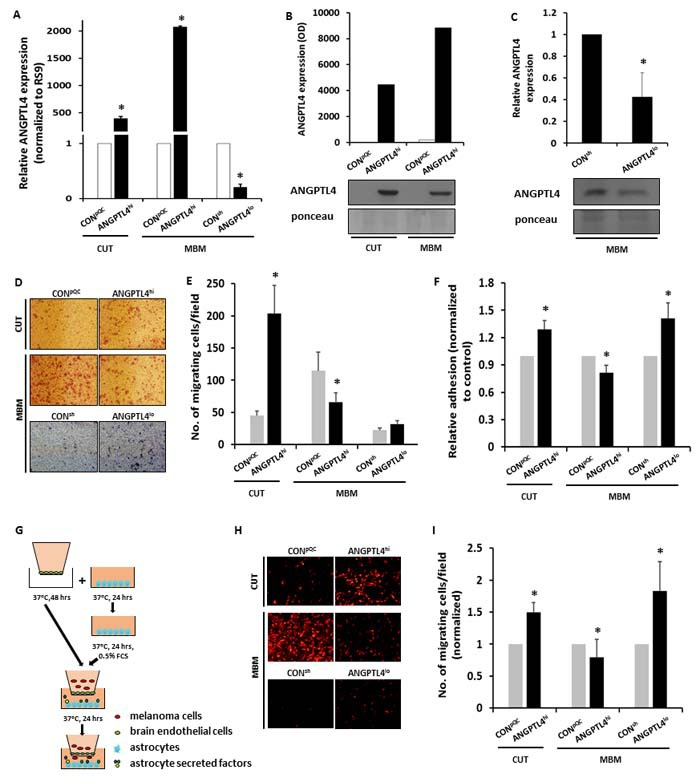 ANGPTL4 controls the malignancy phenotype of cutaneous and brain metastasizing melanoma variants A. - C. Cutaneous (CUT) and melanoma brain metastasizing (MBM) variants were transduced with an ANGPTL4 cDNA-containing construct (ANGPTL4 hi ) or with the backbone construct pQCXIP (CON pQC ). MBM cells were transduced with a mixture of 4 different shANGPTL4-containing constructs (ANGPTL4 lo ), or with the control construct (CON sh ). The efficacy of ANGPTL4 over-expression or down-regulation was verified: (A) RT-qPCR analysis was performed to determine the mRNA expression level of ANGPTL4. The bars represent the relative ANGPTL4 expression (normalized to RS9) in ANGPTL4 hi or ANGPTL4 lo cells compared to control cells + SEM obtained in one measurement in at least three independent experiments. * P