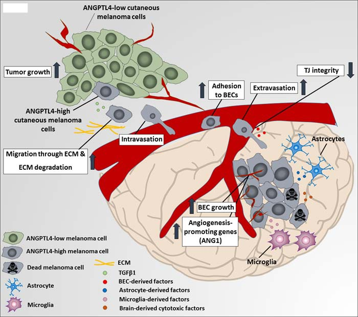 A proposed mechanism for ANGPTL4-mediated melanoma malignancy progression A soluble factor in the microenvironment of the primary tumor transforming growth factor β1 (TGFβ1) induces the expression of ANGPTL4 in primary melanoma tumor cells. ANGPTL4 enhances their ability to migrate through extracellular matrix (ECM) components and to adhere and invade brain vasculature, for example by down-regulating the expression of cell-cell adhesion tight junction (TJ) molecules such as claudin-1 (CLDN1). Once arriving the brain, brain-derived soluble factors secreted by microglia, brain endothelial cells (BEC) and astrocytes, induce ANGPTL4 expression by brain metastasizing cells, what contributes to different phenotypes, such as resistance against brain-derived cytotoxic factors, enhancement of BEC growth and induction of angiogenesis-related genes such as angiopoietin 1 (ANG1) (data not shown) in BEC subjected to factors released from brain metastasizing cells, expressing high ANGPTL4 levels.
