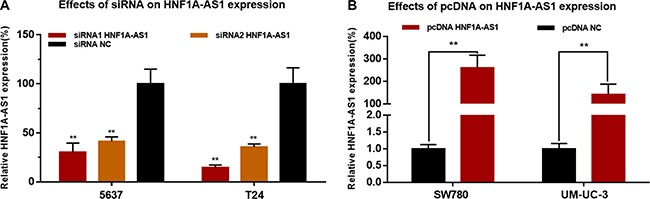 Effects of corresponding siRNA or pcDNA on HNF1A-AS1 expression level The relative expression level was determined using qRT-PCR. ( A ) The HNF1A-AS1 specific siRNA significantly down-regulated the expression level of HNF1A-AS1 in 5637 and T24 cells. ( B ) The HNF1A-AS1 specific pcDNA3.1 significantly up-regulated the expression level of HNF1A-AS1 in SW780 and UM-UC-3 cells. Data are indicated as mean ± SD.