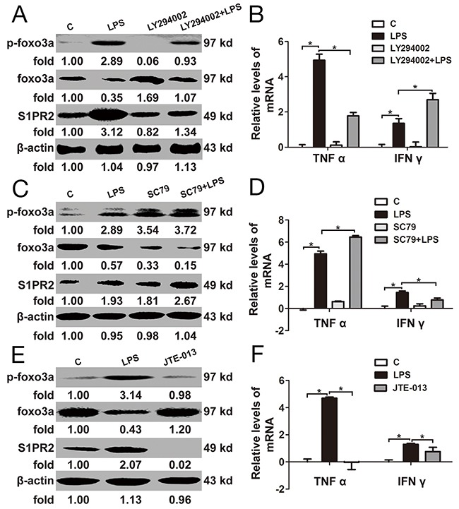 The relationship between Foxo3a and <t>S1PR2</t> in <t>PBMCs</t> (A) and (B) PBMCs were pre-treated with LY294002 for 1 h before stimulation with LPS for 2 h: the protein and phosphorylation levels of Foxo3a and S1PR2 were tested by WB assay; the mRNA levels of TNF α I and IFN γ were detected by RT-PCR. (C) and (D) PBMCs were pre-treated with SC79 for 1 h before stimulation with LPS for 2 h: the protein and phosphorylation levels of Foxo3a and S1PR2 were tested by WB assay; the mRNA levels of TNF α and IFN γ were detected by RT-PCR. (E) and (F) PBMCs were treated with LPS and JET-013 for 2 h: the protein and phosphorylation levels of Foxo3a and S1PR2 were tested by WB assay; the mRNA levels of TNF α and IFN γ were detected by RT-PCR. *, p