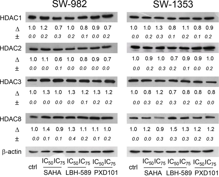 Expression of Class I HDACs in SW-982 and SW-1353 cells Protein expression of Class I HDAC members HDAC1, -2, -3, and -8 in SW-982 and SW-1353 cells was evaluated by immunoblotting under control conditions and in the presence of the IC 50 and IC 75 concentrations of the HDACi SAHA, LBH-589, and PXD101 for 48 h. β-actin was used as loading control. Δ, fold change normalized to controls (mean±SD of n = 3).