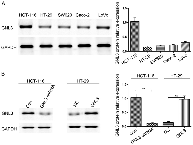 GNL3 expression was assessed in different colon cancer cell lines using western blotting. (A) GNL3 levels in five colon cancer cell lines: HCT-116, HT-29, SW620, Caco-2 and LoVo cells. (B) GNL3 expression was significantly reduced in GNL3 knockdown cells (GNL3 shRNA) compared with that in the control cells (Con) and was substantially increased in GNL3-overexpressing cells (GNL3) compared with that in the negative control cells (NC). **P