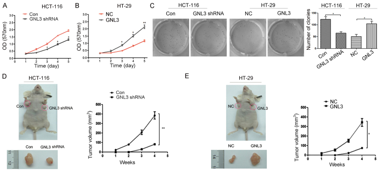 Effects of GNL3 knockdown and overexpression on cell proliferation and colony formation in vitro and tumor growth in nude mice in vivo . (A) In HCT-116 cells, the proliferation rates of the GNL3 knockdown group (GNL3 shRNA) were lower than the control group (Con). (B) In HT-29 cells, the proliferation rates of the GNL3-overexpressing group (GNL3) were much higher than in the negative control group (NC). (C) GNL3 knockdown inhibited the formation of HCT-116 cell colonies, and GNL3 overexpression promoted the formation of HT-29 cell colonies. (D and E) Representative xenograft tumors are shown and the tumor volume was measured weekly. *P