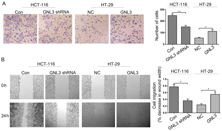 Effects of GNL3 knockdown and overexpression on cell invasion and migration in vitro . (A) Following GNL3 knockdown (GNL3 shRNA), the invasive capacity of HCT-116 cells was decreased compared with those of control cells (Con). Following GNL3 overexpression (GNL3), the invasive capacity of HT-29 cells was increased compared with negative control cells (NC). (B) GNL3 knockdown inhibited the migration of HCT-116 cells, and GNL3 overexpression promoted the migration of HT-29 cells. *P