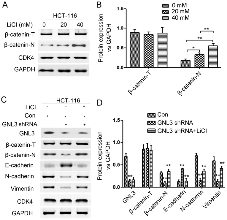 Treatment with suitable concentrations of LiCl activates the Wnt/β-catenin signaling pathway, and LiCl partially reverses the GNL3 knockdown-induced inhibition of the EMT and Wnt/β-catenin signaling pathway in HCT-116 cells. (A and B) Both 20 and 40 mM LiCl were appropriate concentrations to activate the Wnt/β-catenin signaling pathway. (C and D) GNL3 knockdown (GNL3 shRNA) increased E-cadherin expression and decreased N-cadherin, vimentin, nuclear β-catenin (β-catenin-N) and GNL3 expression compared with the controls (Con). LiCl increased N-cadherin, vimentin and β-catenin-N expression and reduced E-cadherin expression compared with the GNL3 shRNA group. *P