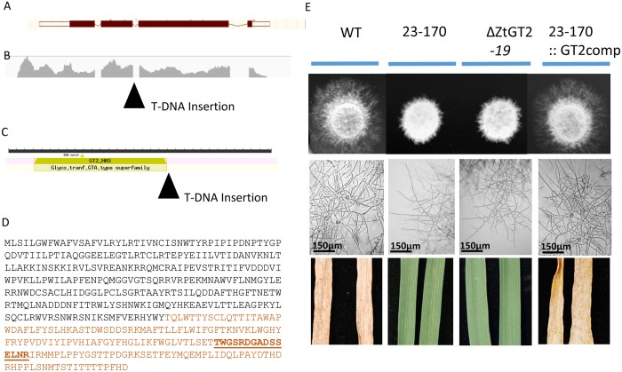 All mutant phenotypes of 23–170 result from inactivation of a gene encoding a putative type 2 glycosyltransferase (ZtGT2). (A) The gene model structure identified through TAIL-PCR analysis of the T-DNA insertion site in mutant 23–170. (B) RNAseq raw read mapping confirmed the predicted gene structure and highlights the position of the left border T-DNA insertion. (C) Functional annotation of the tagged gene highlighting the position of the T-DNA left border relative to the predicted type 2 glycosyltransferase catalytic domain. (D) The predicted amino acid sequence of ZtGT2 highlighting the protein region truncated by T-DNA insertion in brown font. The underlined region indicates the peptide sequence chosen for antibody generation (E) Complementation of the 23–170 mutant strain with the wild-type ZtGT2 gene (23–170::GT2comp) restores hyphal growth on solid surfaces and virulence on plants. Independent targeted deletion of ZtGT2 in the wild-type fungus (ΔZtGT2-19) results in the same aberrant hyphal growth and loss of virulence phenotypes shown for 23–170.