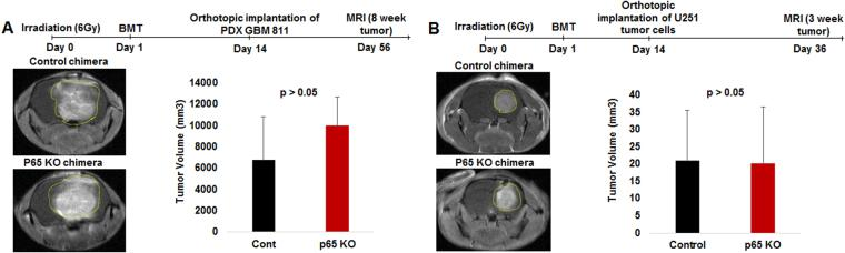 p65 KO chimera failed to inhibit human GBM growth in immune-deficient host. ( A and B ) The p65 KO and control recipient mice bone marrow was isolated and transplanted into irradiated donor nude mice. Once mice achieved 70% engraftment (chimera) in 2 weeks, U251 or PDX GBM811 cells were orthotopically implanted and followed-up for MRI at the 3-week or 8-week protocol, respectively. MRI data showing p65KO chimera failed to decrease the U251 or PDX GBM811 human tumor growth. Shown is one of the two experiments performed. Quantitative data is expressed in mean ± SD.
