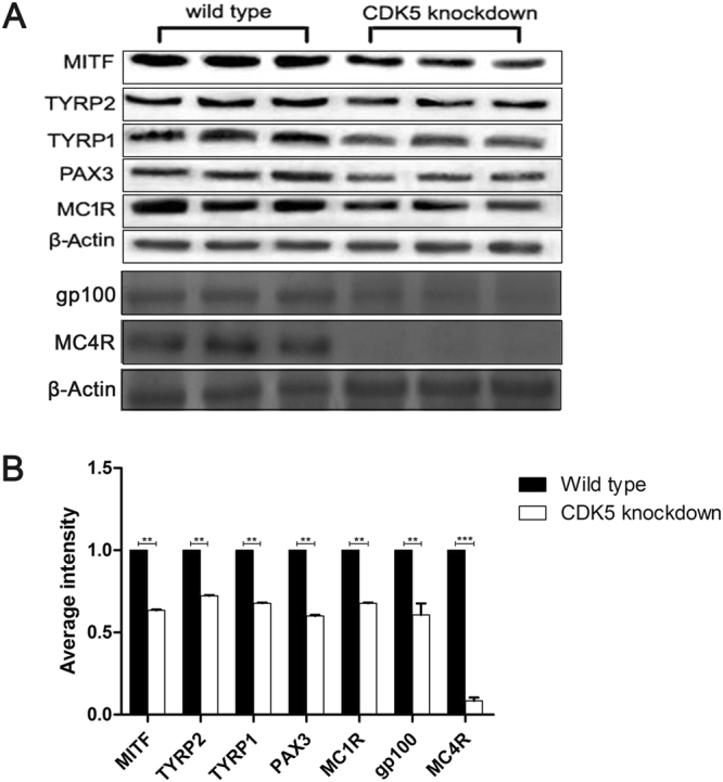 Analysis of relative hair color gene expression for evidence of a transcriptome profile, gp100 expression and MC4R protein expression in the skin of Cdk5 knockdown mice. ( A ) Western blot analysis of MITF, TYRP1, TYRP2, <t>PAX3,</t> MC1R, gp100 and MC4R protein expression in the skin of Cdk5 knockdown mice comp ompared to the wild-type mouse ared with wild-type mice. ( B ) The abundance of the MITF, TYRP1, TYRP2, PAX3 and MC1R proteins was quantified using Image-Pro Plus software and normalized relative to the abundance of β-actin. Bars represent the mean ± standard error (n = 3). ***P