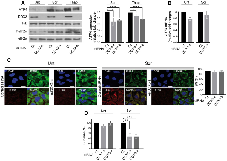 DDX3 is required for ER stress-induced ATF4 expression. ( A – D ) Hep3B were treated with either DDX3-a, DDX3-b or control (Ct) siRNAs for ninety-six hours and then incubated with either 10 μM Sor or 100 nM Thap for two hours, as previously described 15 . ( A ) Left panels: Cells were harvested, lysed and proteins materials were analyzed by western blot for the expression of DDX3, ATF4, PeIF2α, the pan-eIF2α, and tubulin (Tub; loading control) using the corresponding antibodies. Right panel: The expression level of ATF4 was estimated by densitometry quantification of the film signal using Image Studio™ Lite Software and standardized against total tubulin. * P ≤ 0.05; **** P ≤ 0.0001 (Student's t -test). The results are representative of at least 3 different experiments. ( B ) Total RNA was isolated and the level of ATF4 mRNA relative to GAPDH mRNA was quantified by real-time q(RT)-PCR using the ΔΔCt method. The presented results are the mean of triplicate measurements, with error bars corresponding to the S.D. ( C , D ) Hep3B treated with either DDX3-a, DDX3-b or control (Ct) siRNA were incubated with Sor. ( C ) Cells were processed for immunofluorescence to detect SG using anti-FMRP (green signal) and anti-DDX3 (red signal) antibodies. DAPI stains nuclei. Bars correspond to 20 μm. Representative results from 6 different fields and 3 different experiments containing a total of 1000 cells are shown. Right panel represents the percentage of cells harboring SG ( > 3 granules/cell). Error bars correspond to the S.D with variations not statistically significant. ( D ) Clonogenic survival assays. Hep3B were incubated with either DDX3-a, -b or control (Ct) siRNAs, then treated with Sor. After trypsinisation, equal numbers of cells were seeded in the absence of drug, and incubated for 10 days. Populations > 20 cells were counted as one surviving colony. Data were calculated as the percentage of surviving colonies relative to the number found in plates corresponding to mock-