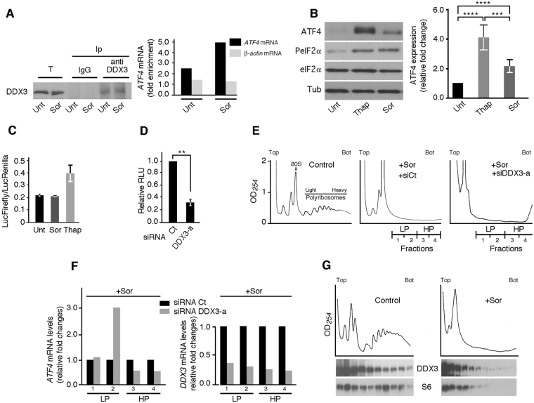 DDX3 regulates ATF4 expression at the posttranscriptional level. ( A ) Immunoprecipitation coupled to qRT-PCR. Hep3B were treated with 10 μM Sor for 2 hours, lysed and their extracts were used to immunoprecipitate DDX3 with anti-DDX3 antibodies and with IgG as a control. mRNAs were isolated from each immunoprecipitate and quantified by qRT-PCR. Left panel: Western blot analysis of total (T) and immunoprecipitated (Ip) proteins using antibodies specific to DDX3. The results are representative of two independent experiments. Right panel: The amounts of ATF4 mRNA and actin mRNA (as control) present in DDX3 precipitate are calculated relative to those in IgG precipitate, then were normalized against GAPDH mRNA. ( B , C ) Thap induces ATF4 expression more efficiently than Sor. ( B ) Hep3B were treated with either Sor (10 μM) or Thap (100 nM) then lysed and their protein contents were analyzed by western blot for the expression of ATF4 and tubulin (Tub; loading control) using the corresponding antibodies. P-eIF2α serves a positive control for drugs treatment and the pan-eIF2α is used as control for P-eIF2α. *** P ≤ 0.001; **** P ≤ 0.0001. ( C , D ) Translational luciferase assays. ( C ) Hep3B cells are co-transfected with a luciferase expressing vector containing the human ATF4 5′-UTR fused to Firefly luciferase (FLuc) gene, and the control plasmid expressing Renilla luciferase (RLuc). Cells are then treated with either Sor or Thap to induce translation of FLuc whose activity is measured in the cell extracts and expressed relative to RLuc. Error bars correspond to the S.D. ( D ) Hep3B expressing DDX3-a or control (Ct) siRNAs are co-transfected with a luciferase expressing vector containing the human ATF4 5′-UTR fused to FLuc gene, and the control plasmid expressing RLuc. Cells are then treated with Thap to induce translation of FLuc whose activity is measured as above. ** P ≤ 0.01. ( E , F ) Analysis of the ATF4 mRNA association with polyribosomes. Hep3B were incubated wi