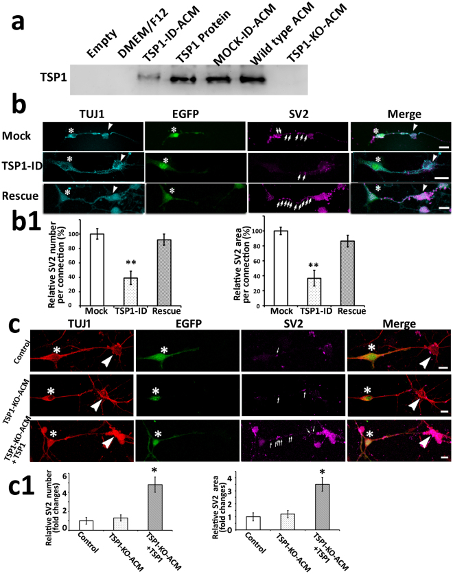 TSP1 immunodepletion or TSP1 knockout abolished ACM-exerted effects, which was rescued by the supplementation of exogenous TSP1 protein. ( a ) TSP1 antibodies were used for western blotting, which showed clear TSP1 bands in TSP1, mock, and ACM groups, a weak band in TSP1 immunodepleted ACM group (TSP1-ID-ACM), and no bands in empty, DMEM/F12, or TSP1 knockout ACM (TSP1-KO-ACM) groups. The image was cropped and inverted from a digital image captured by UVP imaging system (original images with ladder in the supplemental Fig. 1 ). ( b ) Immunofluorescence shows TUJ1-expressing connections between EGFP-ScNs (asterisks) and wild type CN neurons (arrowheads). A number of SV2-expressing puncta were observed along connections in the mock group (co-cultures supplied with the wild type ACM that has been immunodepleted by mouse IgG). The number of SV2-expressing puncta (arrows) along connections was reduced in the TSP1-ID-ACM group (co-cultures supplied with TSP1-ID-ACM), whereas it was increased when exogenous TSP1 protein (10 nM) was supplemented (the rescue group). ( b1 ) The quantitative study indicates that the relative number and area of SV2 puncta decreased in the TSP1-ID-ACM group, whereas they significantly increased in the rescue group (mean ± standard error shown in the figure; **indicates P