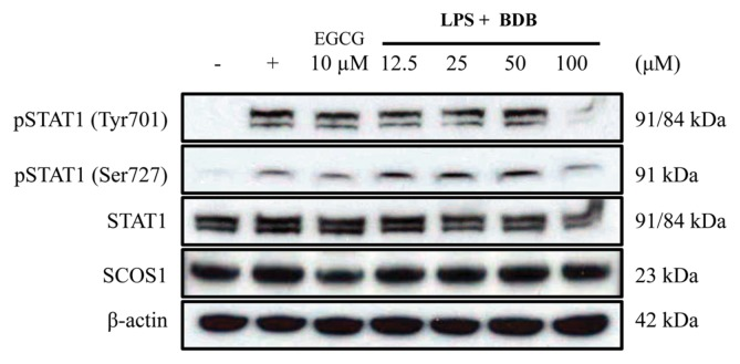 Effects of 3-bromo-4,5-dihydroxybenzaldehyde (BDB) on the phosphorylation of STAT1 at Tyr701 and Ser727 residues in lipopolysaccharide (LPS)-stimulated RAW 264.7 macrophages. RAW 264.7 cells (5.0 × 10 5 cells/mL) were pre-incubated for 18 hr. Cells were pretreated with BDB (12.5 to 100 μM) for 120min and stimulated with LPS (1 μg/mL) for 120min. Expression of phosphorylated STAT1 at Tyr701 and Ser727, STAT1, SOCS1, and β-actin was determined by western blotting of whole cell lysates with the indicated antibodies.