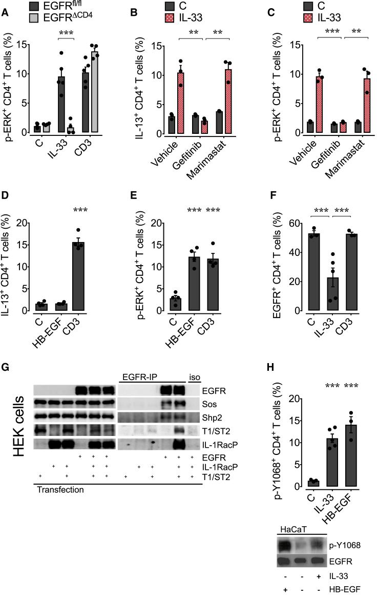 IL-33-Induced IL-13 Production by Th2 Cells Is Dependent on a Signaling Complex between T1/ST2 and EGFR WT and Egfr fl/fl xCd4-cre (EGFR ΔCD4 ) mice were infected with H. polygyrus larvae, and on day 14 post infection, mLN were harvested. (A–C) Cells were stimulated with rIL-33, anti-CD3, or media in the presence of gefitinib, marimastat, or vehicle, and p-ERK (A and C) or IL-13 (B) expression was determined by intra-cellular staining and flow cytometry analysis. (D and E) Cells were stimulated with rHB-EGF, anti-CD3, or media, and IL-13 (D) and p-ERK (E) expression was determined by intra-cellular staining and flow cytometry analysis. (F) EGFR expression on stimulated mLN WT CD4 + T cells in the presence of monensin was analyzed by flow cytometry. (G) HEK293T cells were transfected as indicated with T1/ST2, the IL-1RacP, or the EGFR alone or in combination. Subsequently, the cells lysates were analyzed for the expression of the transfected proteins (input, left panel). The same lysates were also subjected to an EGFR-specific immunoprecipitation (EGFR-IP, right panel) or were treated with the isotype control (iso, right panel). Precipitates were analyzed by immunoblot. (H) mLN (upper) or HaCaT cells (lower) were stimulated with rIL-33, rHB-EGF, or media, and the EGFR phosphorylation at position Y1068 was determined by intra-cellular staining and flow cytometry analysis (upper) or immunoblot (lower). All data are representative of at least two independent experiments (mean ± SEM); results for individual mice are shown as dots. See also Figure S6 .