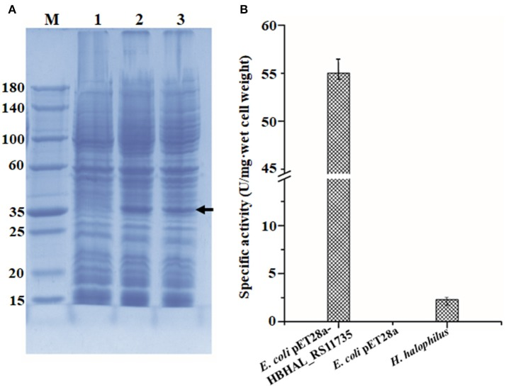 Expressional analysis of HBHAL_RS11735 using a pET28a construct in E. coli BL21 (DE3) cells (A) and PH-4 activity assay of the overexpressed gene product (B) . (A) A pET28a-HBHAL_RS11735 construct was overexpressed in E. coli BL21 (DE3) cells, and crude protein extracts of these cells were separated by SDS-PAGE. lane M, protein size marker; lane 1, total protein from uninduced cells carrying the HBHAL_RS11735 gene; lane 2, total protein from induced cells carrying the HBHAL_RS11735 gene; lanes 3, soluble protein from induced cells carrying the HBHAL_RS11735 gene. (B) PH-4 activity assay of soluble protein from E. coli cells overexpressing the HBHAL_RS11735 gene. PH-4 activity is expressed as enzyme units per mg·wet cell weight, and cells of E. coli BL21 (DE3) without the HBHAL_RS11735 gene and H. halophilus DSM 2266 cells were used as negative and positive controls, respectively.