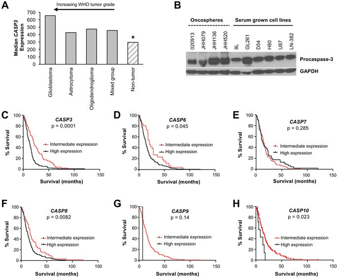 Procaspase-3 is expressed in brain tumors and its expression is a prognostic factor for survival of glioblastoma patients A. Analysis of CASP3 expression in the NCI REMBRANDT database demonstrates that CASP3 is more highly expressed in brain tumors compared to non-tumor tissues (*, p