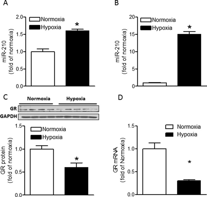 Hypoxia induces miR-210 expression and suppresses GR expression in fetal rat hearts ( A ) Hearts were isolated from E21 fetuses from pregnant rats treated with normoxia or hypoxia at 10.5% O 2 from day 15 to day 21 of gestation, and miR-210 expression was measured by miScript miR real-time RT-qPCR. n = 8. ( B , C , D ) Cardiomyocytes isolated from E21 fetuses were treated with normoxia or hypoxia (1% O 2 ) for 24 hours. MiR-210 expression was measured by miScript miR real-time qRT-PCR (B), n = 6; GR protein abundance was measured by Western blot (C), n = 4–5, and GR mRNA abundance was determined by real-time qRT-PCR (D), n = 6. Data are mean ± SEM. * p