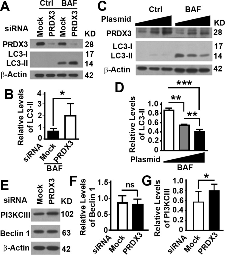 Impacts of PRDX3 protein on autophagy flux ( A – D ) Representative immunoblot (A, C) and quantification (B, D) showing the levels of LC3-II in BPH-1 cells treated with random (MOCK) or PRDX3-specific siRNA (PRDX3) (A, B) or RWPE-1 cells transiently expressing different amount of PRDX3 (C, D) in the absence (Ctrl) or presence of bafilomycin A1 (BAF). Data are mean and standard deviation of three repeats and differences are tested with Student's T -test. * P ≤ 0.05; ** P ≤ 0.01; *** P ≤ 0.001. ( E – G ) Representative immunoblot (E) and quantification (F, G) showing the levels of Beclin 1 (F) and PI3KCIII (G) in BPH-1 cells treated with random (MOCK) or PRDX3-specific siRNA (PRDX3). Ns, not significant; * P ≤ 0.05.