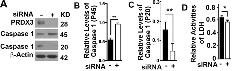 Impacts of <t>PRDX3</t> on pyroptosis ( A – C ) Representative immunoblot (A) and quantification (B–C) showing the levels of caspase 1 (P45) (B) and caspase 1 (P20) (C) in BPH-1 cells treated with random (−) or PRDX3-specific <t>siRNA</t> (+). ( D ) Plots of lactate dehydrogenase ( LDH ) activity released in medium from cultured BPH-1 cells treated with random (−) or PRDX3-specific siRNA (+). Data are mean and standard deviation of three repeats and differences are tested with Student's T -test. * P ≤ 0.05; ** P ≤ 0.01.