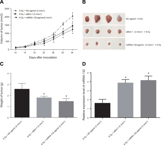 Effects of miR-132 on the radiosensitivity of Hela cell-induced tumors in nude mice (A) Growth curve for transplanted tumors. After treatment with miRNA Agomir beginning on the 22 nd day, tumor growth was slower in the miR-132-agomir + 8 Gy and siBmi-1 + 8Gy groups than in the NC-agomir + 8 Gy group; this difference increased as treatment continued. (B and C) On the 35 th day after tumor transplantation, mice were sacrificed and tumors were removed, weighed, and photographed. Tumor weights were higher in the NC-agomir + 8 Gy group than in the miR-132-agomir + 8Gy and siBmi-1 + 8 Gy groups. (D) qRT-PCR performed using a small amount of transplanted tissue revealed that miR-132 expression in the miR-132-agomir + 8 Gy group was elevated compared to the NC-agomir + 8 Gy group. * P