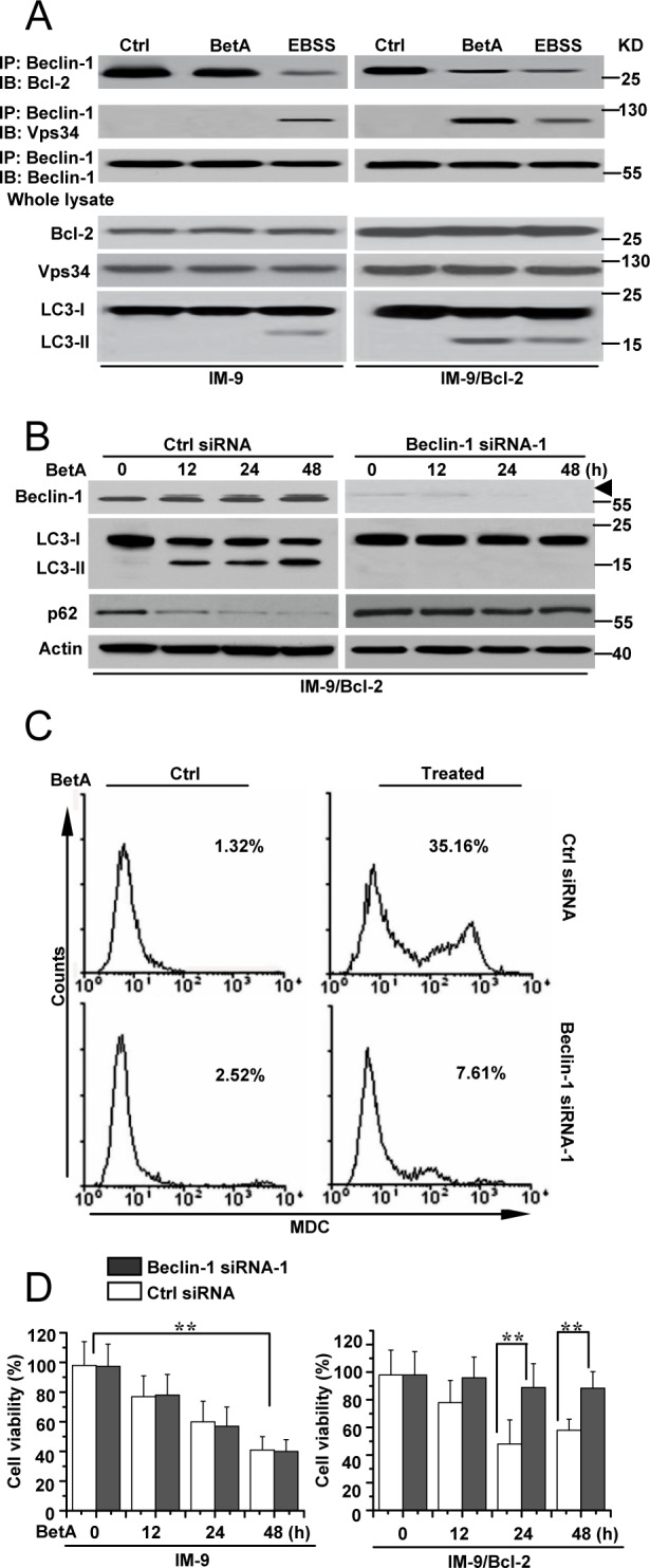 Beclin-1 is required for autophagic cell death in IM-9/Bcl-2 cells (A) Detection of Beclin-1/Bcl-2 complex and Beclin-1/Vps 34 complex association in IM-9/Bcl-2 cells, respectively. Top row , Cells were cultured for 24 h, either in complete medium (control) or in medium supplemented with 10 μg/ml BetA. EBSS treatment (12 h) was used as an autophagy control. Cells were lysed and were subjected to immunoprecipitation with anti-Beclin 1 antibody and protein G-Sepharose. The immunoprecipitates were subjected to immunoblotting using anti-Bcl-2, Vps34 or anti-Beclin 1 antibodies. Bottom , lysates were immunoblotted with the antibodies indicated. The Western blots are representative of three independent experiments. (B) IM-9/Bcl-2 cells were transfected with Beclin-1 or Ctrl siRNA for 48 h, and then treated with BetA for different periods of time. Immunoblot analysis of LC3-I and LC3-II levels, p62 and Beclin-1 expression. Arrowhead referred to the upshifted Beclin-1. β-Actin immunoblotting was used as a loading control. (C) IM-9/Bcl-2 cells were treated as described in B , and then treated cells were collected for MDC staining by flow cytometry. Representative results of three experiments with consistent results are shown. (D) IM-9 and IM-9/Bcl-2 cells were transfected with Beclin-1 or Ctrl siRNA for 48 h, and then treated with BetA for different periods of time. Cell viability was determined as described in Materials and methods. Graphs showing results of quantitative analyses ( n =3, mean ± S.D. **, P