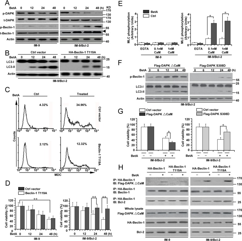 DAPK-mediated Beclin-1 phosphorylation contributes to BetA-induced autophagic cell death (A) IM-9 and IM-9/ Bcl-2 cells were treated with BetA for different periods of time. Treated cells were lysed for detecting DAPK phosphorylation (p-DAPK), total DAPK (t-DAPK), Beclin-1 phosphorylation (p-Beclin-1) and total Beclin-1 (t-Beclin-1) by Western blotting, with β-Actin serving as a loading control. Arrowhead referred to the upshifted Beclin-1. (B) IM-9/ Bcl-2 cells were transfected with Ctrl vector or HA-Beclin-1 T119A for 48 h, and then cells were lysed for detecting LC3-I and LC3-II levels by Western blotting, with β-Actin serving as a loading control. (C) IM-9/ Bcl-2 cells were treated with BetA for 48 h, and then treated cells were collected for MDC staining by flow cytometry. Representative results of three experiments with consistent results are shown. (D) IM-9/ Bcl-2 cells were treated as described in B , and cell viability was determined as described in Materials and methods. Graphs showing results of quantitative analyses ( n =3, mean ± S.D. **, P