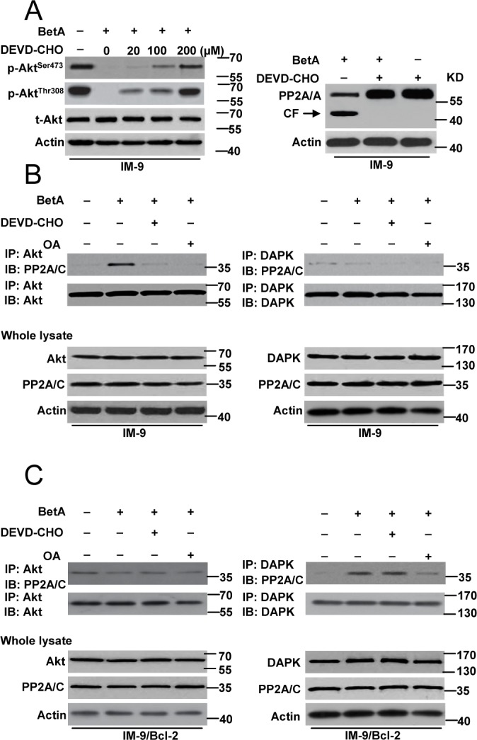 PP2A mediates autophagic cell death or apoptosis through regulating its connection with Akt and DAPK (A) Left row , Cells were pre-incubated with indicated concentrations of DEVD-CHO for 1 h and exposed to BetA for 48 h, then lysed in sample buffer for detection. Western blot analysis of t-Akt and p-Akt levels was shown. Right , Western blot analysis of the effect of DEVD-CHO (100 μM) in PP2A cleavage in IM-9 cells. (B) Detection of the binding of Akt or DAPK with PP2A in IM-9 cells. Cells were incubated with or without BetA for 48 h. In some groups of cells, 0.2 μM of OA or 100 μM of DEVD-CHO was added 1 h prior to the addition of drug. The cells were then lysed with for immunoprecipitation with anti-Akt or anti-DAPK antibody followed by immunoblot assay with anti- PP2A/C and anti-Akt or anti-DAPK antibodies. (C) Detection of the binding of Akt or DAPK with PP2A in IM-9/Bcl-2 cells. Cells were incubated with or without BetA for 48 h. In some groups of cells, 0.2 μM of OA or 100 μM of DEVD-CHO was added 1 h prior to the addition of drug. The cells were then lysed with for immunoprecipitation with anti-Akt or anti-DAPK antibody followed by immunoblot assay with anti- PP2A/C and anti-Akt or anti-DAPK antibodies. Representative results of three experiments with consistent results are shown.