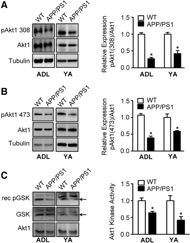 Akt1 phosphorylation and its kinase activity are decreased in synapses of APP/PS1 mice early in the disease pathogenesis. Levels of both the phosphorylated forms of Akt1 [Thr308; (A) and Ser473; (B) ], which are critical for its kinase activity, are reduced in synaptosomes isolated from ADL and YA APP/PS1 mice compared with those from age-matched WT controls. Akt1 kinase activity was measured by immunoblot-based assay of phosphorylation of the Akt1 substrate, recombinant-truncated GSK [rec GSK; (C) ]. Cortical synaptosomes from APP/PS1 mice have reduced Akt1 activity when compared with those from WT controls at all ages examined. Values are mean ± SEM ( n = 6 mice) and * denotes values significantly different from corresponding controls ( p