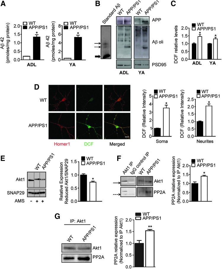 Increased oxidation of Akt1 and its increased affinity for PP2A are observed in synaptosomes of APP/PS1 mice. Aβ42 levels in cortical homogenates from different ages of WT and APP/PS1 mice measured using ELISA is depicted for ADL (1–1.5 months old) and YA (3–4 months old) mice (A) . Immunoblotting provides evidence for increased accumulation of oligomeric Aβ in synaptosomes from ADL and YA APP/PS1 mice (B) . Immunoreactive signals for PSD95 were used to normalize the blots. The leftmost panel with the synthetic Aβ standard is shown as a reference. Treatment of synaptosomes isolated from cortices of ADL and YA APP/PS1 mice with DCFH-DA leads to increased generation of DCF fluorescence when compared with that from age-matched controls (C) . See Supplementary Fig. S4 also. Primary cortical neurons were treated with DCFH-DA and the resultant DCF fluorescence ( green ) was observed along with immunostaining for Homer1 ( red ; D) . Increased colocalization of DCF with Homer1 is observed, indicating extensive ROS levels in neurites and terminals of APP/PS1 cortical neurons, whereas WT cortical neurons show very little staining for ROS ( n = 7–11independent cultures). Scale bar is 20 μm. See Supplementary Fig. S5 . Reduced Akt1 levels assayed as AMS derivatized protein were decreased in synaptosomes isolated from ADL (1 month old) APP/PS1 mice when compared with those from age-matched controls (E) . Immunoprecipitated Akt1 from synaptosomes of 1 month (F) and 9 months (G) old APP/PS1 mice had increased affinity for the phosphatase, PP2A. Values are mean ± SEM ( n = 4 mice) and * denotes values significantly different from corresponding controls ( p