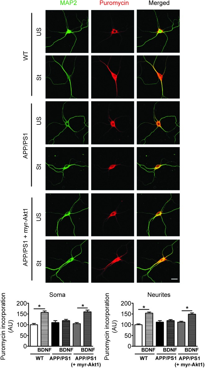 Deficit in BDNF-stimulated protein translation in cultured cortical primary neurons from APP/PS1 mice is rescued by myristoylated <t>Akt1</t> overexpression. Increased protein translation was observed in both soma and neurites of primary cortical neurons isolated from WT mice after BDNF stimulation. Stimulation of protein translation at soma and neurites after BDNF treatment was not observed in primary cortical neurons isolated from APP/PS1 mice. Overexpression of myristoylated Akt1 (myr-Akt1), which is constitutively active, rescues the compromised stimulated protein translation in APP/PS1 neurons. Values are mean ± SEM ( n = 31–36 neurons) and * denotes values significantly different from corresponding controls ( p