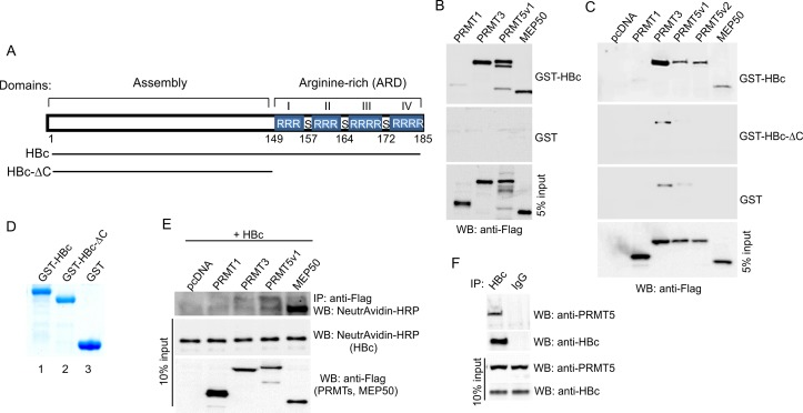 HBc protein interacts with PRMT3, PRMT5 and MEP50. (A) Schematic representation of HBc (Genotype A, subtype adw2) and its C-terminal deletion mutant (HBc-ΔC). ARD, Arginine-rich domain; S, serine residues modified by phosphorylation. (B) Flag-tagged PRMT1, PRMT3, PRMT5v1 and MEP50 were in vitro translated using TNT T7 quick coupled transcription/translation system and incubated with HBc fused to GST or GST alone immobilized on glutathione-Sepharose beads. The bound proteins were eluted and resolved on 10% SDS-PAGE followed by Western blot with anti-Flag antibodies. Five % of PRMTs´ protein input is shown below (5% input). (C) HBc protein interacts with PRMT3, PRMT5 and MEP50 via its C-terminal domain. HEK293T cells were transfected with equal amounts of Flag-tagged PRMT1, PRMT3, PRMT5 (v1, v2) and MEP50 expression constructs. Forty-eight hours after transfection, the cell lysates were incubated with HBc (aa 1–185), HBc-ΔC (aa 1–149) fused to GST or GST alone immobilized on glutathione-Sepharose beads. The bound proteins were eluted and resolved on 10% SDS-PAGE followed by Western blot with anti-Flag antibodies. Five % of PRMTs´ protein input is shown below (5% input). (D) Coomassie blue staining of purified GST, GST-HBc, and GST-HBc-ΔC used in GST pull-down experiments. (E) Co-immunoprecipitation of HBc and PRMTs in transfected HEK293T cells. HEK293T cells were transfected with Flag-tagged PRMTs' expression plasmids and HBc-V5/AP expression plasmid, as indicated. Forty-eight hours after transfection, the cells were harvested and protein lysates were prepared. Protein lysates (400 μg) were immunoprecipitated (IP) with anti-Flag antibodies, and the immunoprecipitated complexes were analyzed by Western blot (WB) with NeutrAvidin conjugated to HRP. The relative levels of PRMTs and HBc in 40 μg of protein lysates are shown for comparison (10% input). (F) Co-immunoprecipitation of HBc and endogenous PRMT5 in HepG2.2.15 cells. Protein lysates (400 μg) isolated from HepG2.2