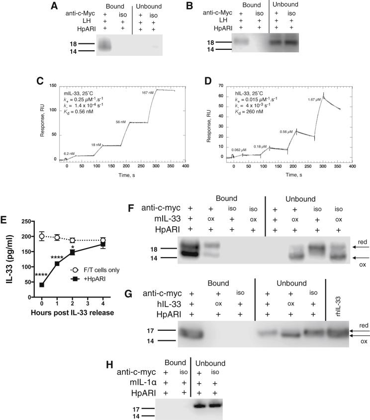 "HpARI Binds Active Murine and Human IL-33 (A) Murine IL-33 western blot (non-reducing) of HpARI immunoprecipitation of mouse lung homogenates, using anti-c-Myc antibody, or MOPC isotype control (iso). (B) Human IL-33 western blot (non-reducing) of HpARI immunoprecipitation of human lung homogenates, as in (A). (C) Characterization of the interaction of mouse IL-33 (mIL-33) with HpARI by surface plasmon resonance (SPR - BIAcore T200). Reference corrected single kinetic titration SPR binding curves (black), and a globally fitted 1:1 kinetic binding model (grey). (D) Characterization by SPR of the interaction of human IL-33 (hIL-33) with HpARI, as in (C). (E) IL-33 levels (ELISA) in supernatants of freeze-thawed murine lung cells, incubated at 37°C for 0, 1, 2, or 4 hr, before addition of 1 μg/ml HpARI, and a further incubation for 1 hr at 37°C. (F) Untreated or oxidized recombinant murine IL-33 immunoprecipitated with HpARI as in (A). (G) Untreated or oxidized recombinant human IL-33 immunoprecipitated with HpARI as in (B). (H) Immunoprecipitation experiments repeated with recombinant murine IL-1α, and probed with anti-murine IL-1α. Arrows indicate specific IL-33 or IL-1α bands, and IL-33 reduced (""red"") or oxidized (""ox"") bands. All data are representative of at least two independent repeats. Error bars show SEM."