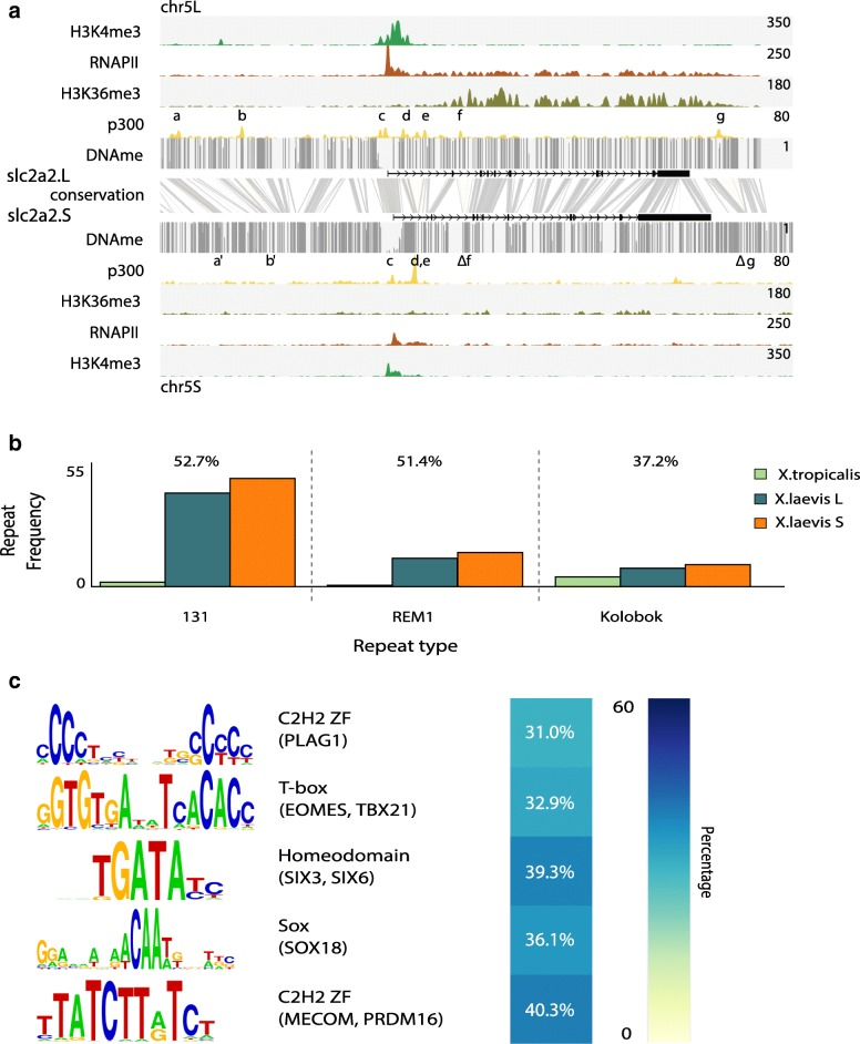 Subgenome-specific recruitment of p300 is associated with TEs. Subgenome-specific p300 peaks are enriched for TEs carrying transcription factor (TF) motifs active in early development. a Differential regulation of the slc2a2 homeologs at stage 10.5. Shown are the genomic profiles of <t>H3K4me3</t> ( green ), RNA Polymerase II (RNAPII; purple ), H3K36me3 ( blue ), and p300 ( yellow ) ChIP-seq tracks, as well as DNA methylation levels determined by WGBS ( gray ). The top panel shows slc2a2.L, which is highly expressed, as evidenced by RNAPII and H3K36me3, and has a number of active enhancers ( a – g ), while slc2a2.S, shown in the bottom panel , is expressed at a lower rate. The conservation between the L and S genomic sequence is shown in gray between the panels. Differential enhancers between L and S are highlighted in yellow , which illustrates lost enhancer function ( a , b ), conserved enhancer function ( c – e ), and deleted enhancers ( f , g ). b Subgenome-specific p300 peaks are associated with DNA transposon repeats (threshold p ≤ 10e-4, twofold enrichment compared to all X. laevis peaks and present at least in 15% of the peaks). The barplots show the frequency of occurrence of each of the three repeat types per megabase in the three (sub)genomes. Over the bars is represented the percentage of subgenome-specific peaks overlapping with the corresponding repeat. c TF found to be enriched in the subgenome-specific p300 peaks (threshold p ≤ 10e-4, threefold enrichment compared to all X. laevis peaks and present at least in 20% of the peaks)