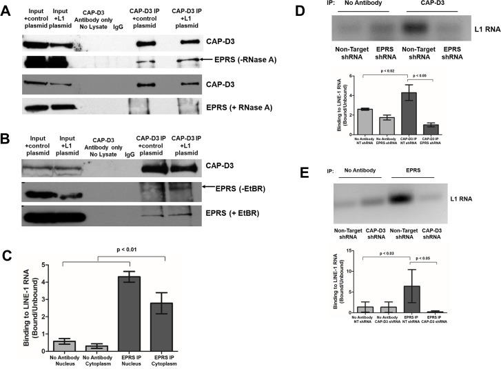 CAP-D3 and EPRS cooperate to associate with LINE-1 RNA. (A,B) CAP-D3 immunoprecipitation followed by immunoblotting for CAP-D3 or EPRS in the presence and absence of RNase A (A) or Ethidium Bromide (B) in HT-29 cells transfected with a control plasmid (pCEP4) or a plasmid expressing L1 (pJM101/L1.3) to increase active retrotransposition. (C) Quantitation of RNA-IP assays using EPRS antibody or no antibody in cells fractionated into nuclear and cytoplasmic fractions. Binding of EPRS to L1 RNA was normalized to the signal intensity in the unbound fractions for each condition (n = 3). (D) RNA-IP assays using CAP-D3 antibody or no antibody in lysates from Non-Target or EPRS shRNA expressing cells. Binding of CAP-D3 to L1 RNA in the presence and absence of EPRS was normalized to the signal intensity in the unbound fractions for each condition (n = 3). Quantitation is shown in the bottom panel. (E) RNA-IP assays using EPRS antibody or no antibody in lysates from Non-Target or CAP-D3 shRNA expressing cells. Binding of EPRS to L1 RNA in the presence and absence of CAP-D3 shRNA was normalized to the signal intensity in the unbound fractions for each condition (n = 3). Quantitation is shown in the bottom panel. P-values were calculated with a student t-test.