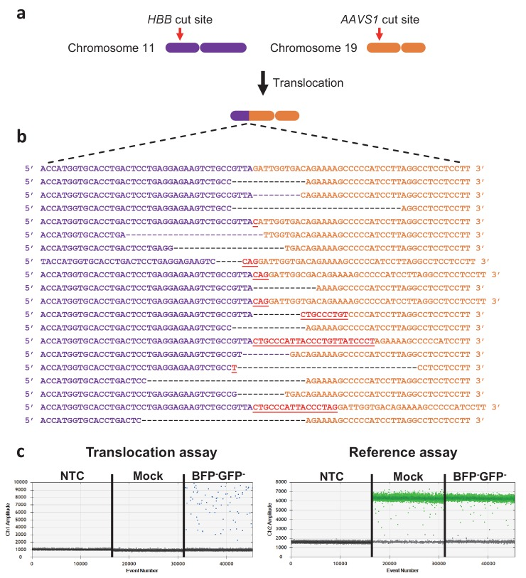 Measuring translocations after HBB and AAVS1 di-genic targeting. ( a ) Schematic showing the HBB gene on chromosome 11 and the AAVS1 locus on chromosome 19. The Cas9 cut sites are shown in red. One of the two possible monocentric translocations is shown. ( b ) The reference sequence of the HBB-AAVS1 translocation is shown in the top. Below are representative translocation sequences from GFP - BFP - HSPCs sorted seven days after targeting (see Figure 3e , left panel). ( c ) Representative ddPCR analyses quantifying translocations in NTC (non-template control), mock-electroporated, and GFP - BFP - cells (see Figure 3e , right panel). The reference assay quantifies <t>TERT</t> gene copies used to normalize for <t>DNA</t> input. The translocation assay probe binds 50 bp away from the junction and none of the identified translocations would therefore exclude probe binding.