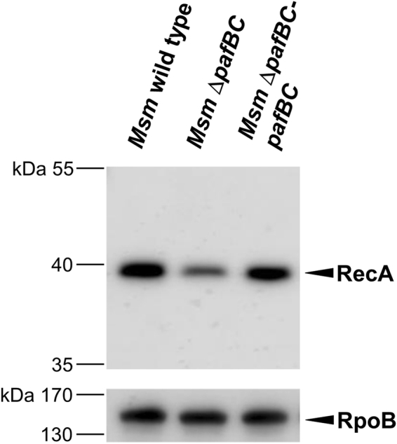 PafBC affects cellular levels of RecA in Msm . Analysis of RecA levels in cell-free lysates of Msm wild type, Msm Δ pafBC and Msm Δ pafBC - pafBC . Cells were grown in 7H9 at 37 °C. Cell-free lysates were analysed by immunblot using an anti- E. coli RecA antibody. The full-length blot is shown in Supplementary Fig. S6 . Equal loading was controlled by an anti-RpoB immunoblot.