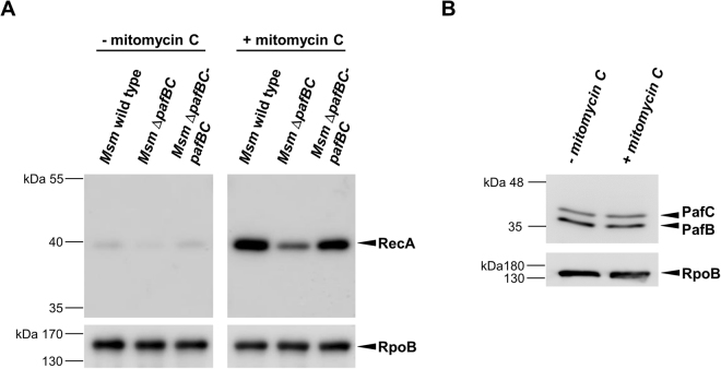 ( A ) DNA-damage induced upregulation of RecA is impaired in Msm Δ pafBC . Msm wild type, the pafBC deletion mutant and a complemented strain were grown in 7H9 to an OD 600 between 0.8 to 1.0 at 37 °C. Cultures were split, supplemented with mitomycin C (80 ng/ml) as indicated and were incubated for another 4 h. RecA levels of cell-free lysates were analysed by an anti-RecA immunoblot. Full-length blots are shown in Supplementary Fig. S8 . To control for equal loading, an anti-RpoB immunoblot was performed. ( B ) Levels of PafBC do not alter under DNA damaging growth conditions. Samples of Msm wild type cells were prepared as described in ( A ) and were analysed by an anti-PafBC immunoblot.