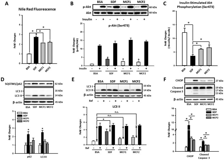 Increasing MCFA ratio attenuated LCFAs-induced fat accumulation, insulin resistance, autophagy impairment, ER stress, and apoptosis in HepG2 cells. To investigate whether MCFAs can directly exert their protective effects in hepatic cells, the fat accumulation, insulin resistance, autophagy impairment, ER stress, and apoptosis were evaluated in fat-loaded HepG2 cells. For intracellular lipid quantification, 48-hour fat-loaded cells were fixed then stained with Nile Red and Hoechst 33342 ( A ). For the insulin sensitivity test, cells were incubated with 100 nM insulin for an additional 10 min after a 48-hour fatty acid treatment. Representative immunoblots and densitometric quantification of phospho-Akt (Ser473) ( B ), and the calculated insulin-stimulated Akt phosphorylation fold change results ( C ) are presented. Representative SQSTM1/p62 and LC3 immunoblots and densitometric results show that increasing MCFA/LCFA ratio protected HepG2 cells against LCFA-induced autophagy impairment ( D ). Autophagic flux changes were also confirmed by analyzing Bafilomycin A1 (50 nM, 3 hours)-induced LC3 II protein accumulation in BSA or fatty acid-treated HepG2 cells ( E ). Western blotting results of CHOP and cleaved caspase 3 show that MCFAs also attenuated LCFAs-induced ER stress and apoptosis in HepG2 cells ( F ). For densitometric analyses of Western blotting data, β-actin or total Akt (for Akt phosphorylation analysis) were used as the loading control. Values are mean ± SEM (n = 3). *, # (vs. BSA treated cells without insulin stimulation), and † (vs. SDF-treated cells without insulin stimulation) indicate statistical significance, P