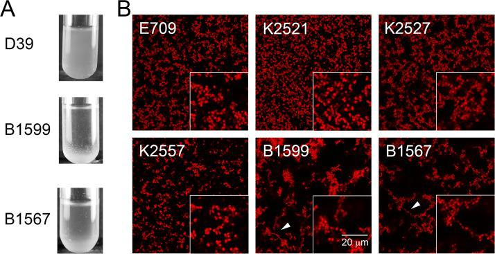 Conjunctivitis-associated strains B1599 and B1567 exhibit aggregates in planktonic culture and form abundant chain-like structures in biofilms. (A) Planktonic cultures of strains B1599, B1567, and D39. Conjunctivitis isolates precipitate at the bottom of the test tube, but no precipitate is observed for model strain D39. (B) Confocal images of 72-h biofilms fixed and stained with Syto59. Boxes on the bottom right display a magnified view. Conjunctivitis isolates B1599 and B1567 form chain-like structures (white arrows point to examples of chain-like structures); however, equivalent chains are not observed in the other eye-associated strains. The scale bar is the same for all micrographs.
