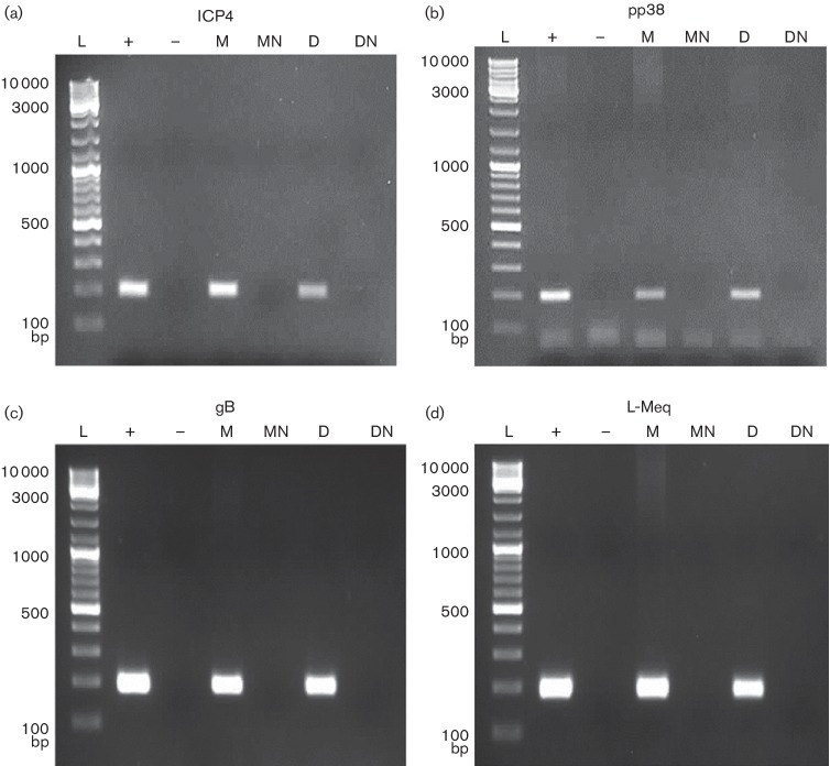Detection of MDV transcripts in BMMs and BMDCs infected with MDV in vitro . BMMs and BMDCs were infected in vitro with EGFP-expressing MDV. After 3 days, EGFP-positive cells were sorted and RT-PCR was carried out for the detection of (a) immediate early ICP4 (200 bp), (b) early pp38 (198 bp), (c) late gB (193 bp) and (d) MDV-specific l -Meq (200 bp) transcripts. L, ladder; +, positive control MDV-infected CEFs; −, negative control, nuclease-free H 2 O; M, infected BMMs (cDNA); MN, infected BMMs no-RT control <t>(DNase-treated</t> <t>RNA);</t> D, infected BMDCs (cDNA); DN, infected BMDCs no-RT control (DNase-treated RNA).