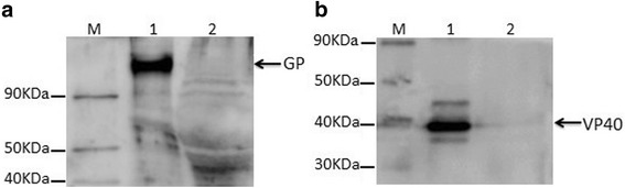 Western blot analysis of GP and VP40 protein expression in the purified MARV VLPs. 10 μg of the purified MARV VLPs were mixed with reducing (with β-mercaptoethanol) protein sample buffer, heated at 95 °C for 5 min, and then subjected to 10% SDS-PAGE with different gels. Two different gels were transferred onto a polyvinylidene fluoride (PVDF) membrane for the Western blot analysis, respectively. a GP was incubated with mouse anti-MARV GP polyclonal antibody (purified MARV VLPs, lane 1; control, lane 2). b VP40 proteins was incubated with mouse anti-MARV VP40 polyclonal antibody (purified MARV VLPs, lane 1; control, lane 2)