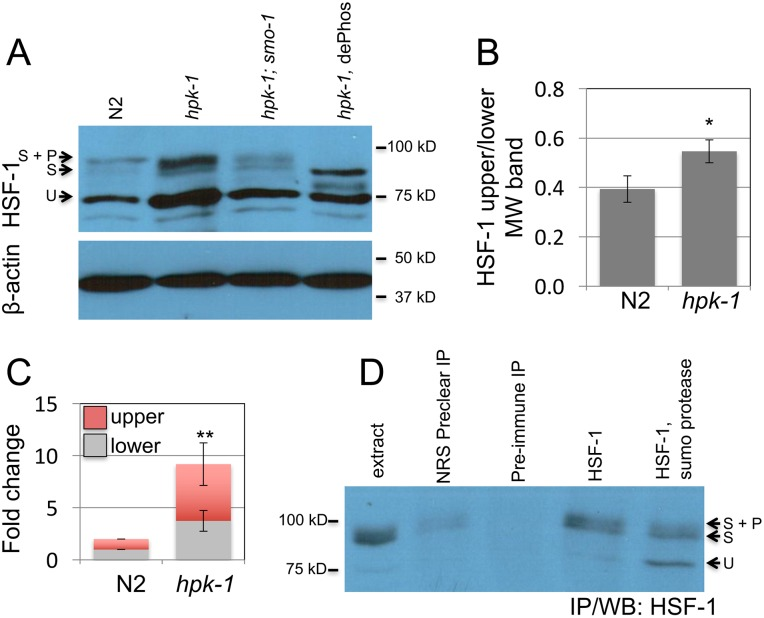 hpk-1 prevents sumoylation of HSF-1. (A) Changes in HSF-1 post-translational modifications between early L4 wild-type and hpk-1(pk1393) animals were examined by western blot to HSF-1; smo-1(RNAi) , which targets C . elegans SUMO, was used to block sumoylation, dePhos is lambda protein phosphatase treatment (other samples were mock treated). Beta-actin serves as a loading control. The ratio of modified to unmodified HSF-1 is 0.35, 0.51, and 0.35 for N2/ ev , hpk-1(pk1393)/ev , and hpk-1(pk1393)/smo-1(RNAi) , respectively (see S3A Fig for additional data). (B) hpk-1 prevents sumoylation of HSF-1. Ratio of HSF-1 unmodified (75kD) to modified (90-95kD, sumoylated and sumoylated plus phosphorylated). The S.E.M. from Image J quantification is shown for seven N2 and hpk-1(pk1393) replicates (* p