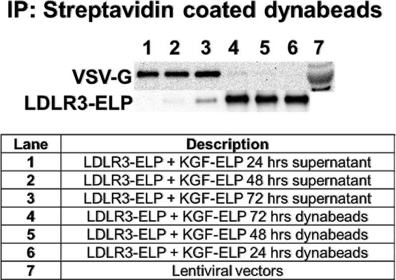 Lentiviral vector is released from LDLR3-ELP after internalization by cells A549 were starved for 24 hours then were treated in serum free media with the indicated treatments. Cells were treated for 24 hours with the lentiviral vector containing nanoparticles that consisted of 1 µM of biotinylated LDLR3-ELP and 1 µM KGF-ELP. At the indicated time points, cells were put on ice for five minutes followed by three ice cold washed in PBS. The cells were lysed with radio immune protection assay (RIPA) buffer containing 2X halt protease and phosphatase inhibitors cocktail with <t>1X</t> ethylene diamine <t>triacetic</t> acid <t>(EDTA).</t> The lysates were immunoprecipitated using streptavidin conjugated magnetic beads (dynabeads). Then a magnetic bar was used to separate the beads from the supernatant. Following a few washes, the immunoprecipitated complexes (dynabeads) and the supernatant were analyzed for the presence of virus using western blots. Anti VSV-G antibody was used to detect the lentiviral vector.