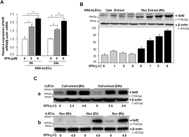 SFN induced Nrf2 expression and enhanced nuclear accumulation in both SRA-hLECs and rLECs. ( A ) Effect of SFN concentration(s) on expression of Nrf2 mRNA in SRA-hLECs. Total RNA was isolated and real-time PCR was performed using specific primers. mRNA expression of Nrf2 was adjusted/normalized to the mRNA copies of β-actin. Histogram represents mean ± S.D. obtained from three independent experiments. Open vs gray and black bars; gray vs black bar; * p