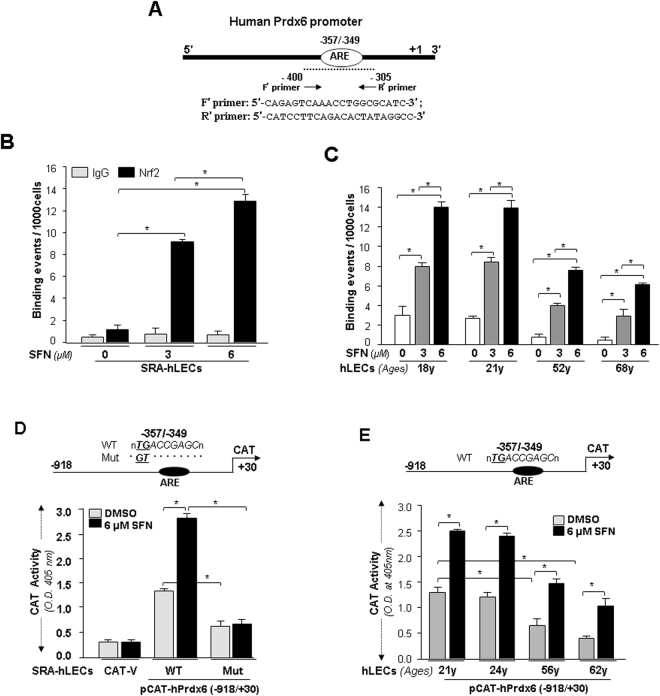 In vivo DNA binding assay revealed that SFN reinforced binding activity of Nrf2 in SRA-hLECs and aging/aged primary hLECs. ( A ) Schematic representation of the regulatory region of proximal promoter of human Prdx6 gene-containing ARE binding sites showing primer location and sequences used in ChIP assay. (B) SFN induced increase in DNA binding activity of Nrf2 to Prdx6 gene promoter containing ARE site in SRA-hLECs. ChIP experiment was carried out by using ChIP-IT® Express and ChIP-IT® qPCR analysis Kit. Chromatin samples prepared from SRA-hLECs treated with varying concentrations (0, 3 µM and 6 µM) of SFN for 24 h were subjected to ChIP assay with a ChIP grade antibody, anti-Nrf2 (black bars) and control IgG (gray bars). The DNA fragments were used as templates for qPCR by using primers designed to amplify −400 to −305 region of the human Prdx6 promoter bearing Nrf2/ARE sites as shown. Histogram shows the amplified DNA band visualized with real-time PCR analysis. DMSO (0) vs 3 µM and 6 µM SFN and 3 µM vs 6 µM SFN treatment; *p